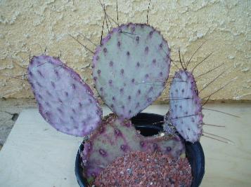 Acheter cactus